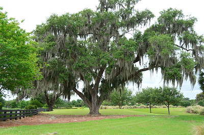 Spagnum Moss Oak Tree in The Villages, Florida - 8583