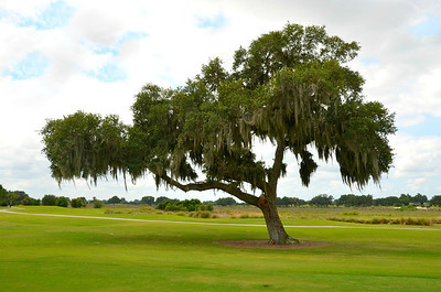 Sphagnum Moss Oak tree on Arnold Palmer's Golf Course in The Villages, Florida